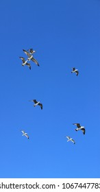 The flock of seagulls flies and hover in clear blue sky.