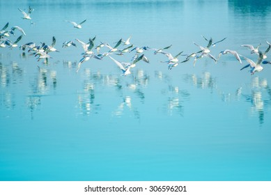 Flock of seagulls flying over lake, reflection of birds on water surface