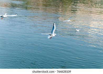 Flock of Seagulls flying over the water looking for food with motion blur and selective focus