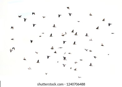 Flock of seagulls flying over the white sky. Flock of seagull flying over white background. Sihouette of Seagulls flying wave. Silhouette of Seagulls flying