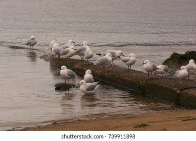 Flock of seagulls resting by the water, Margate, Tasmania.