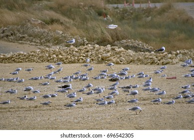 Flock of seagulls resting on the sand, stones in the background, La Rochelle, France