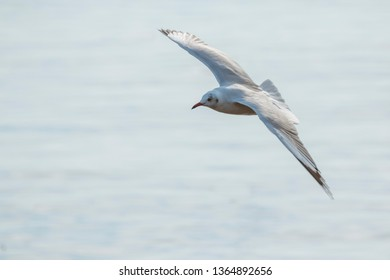 Flock of seagulls in the sky. / Seagull flying with water background. / Seagull in flight. / Seagulls are playing in the area of Bang Pu. Samut Prakan Province,Thailand.