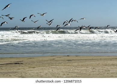 Flock of Seagulls taking flight against the Atlantic Ocean, Namibia