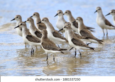 flock of Semipalmed Sandpiper (Calidris pusilla) photographed with selective focus on the front bird on the beach of Mangue Seco, Jandaira, Bahia