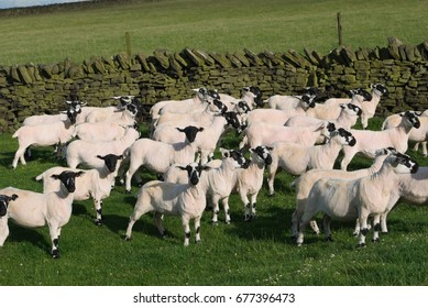 Flock of sheared Derbyshire Gritstone sheep