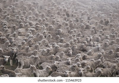 Flock of sheared sheep with central sheep looking at camera / Mackenzie District, Canterbury Region, South Island
