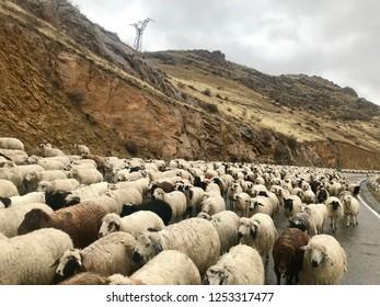 flock of sheep in Armenian mountains, Caucasus