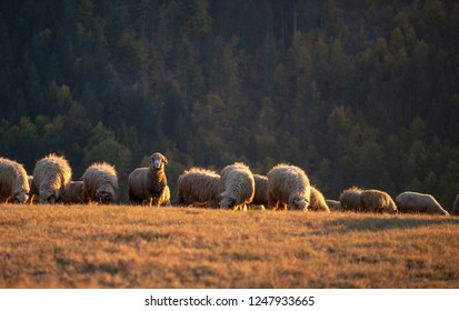 Flock of sheep in autumn season at sunset