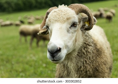 flock of sheep breeding in the green grass mountain meadow - one tup looking straight into camera