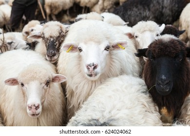 Flock of sheep in the Carpathian mountains. Close-up.