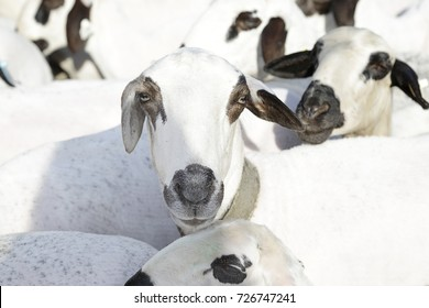 Flock of sheep of the churra breed (an ancient Iberian breed from Castile and Leon, Spain)