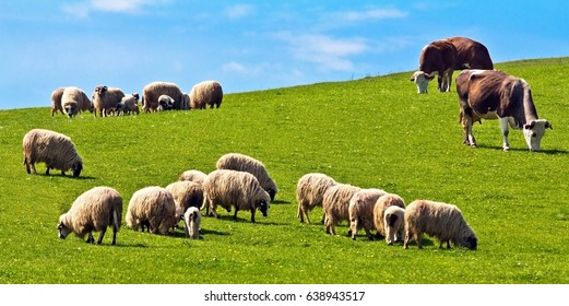 Flock of sheep and cows pasturing on green grass in a sunny day in Romania