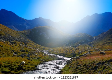 Flock of sheep, drinking water in streem, Gran Paradiso Nationl Park, Italy. Beautifull landscape with ble sky in  Alp, Europe. Mountain during summer with animals. Sheep in the grass.
