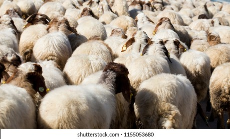 Flock of sheep driven together in rural