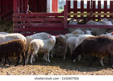 A flock of sheep in the farm yard, one of them looking at camera