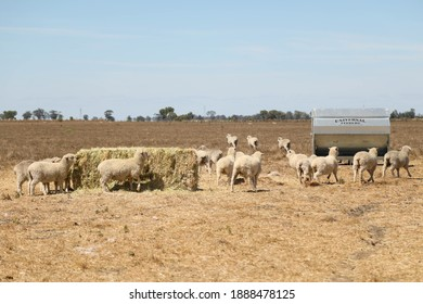 Flock of sheep feeding from large hay bale and feeder