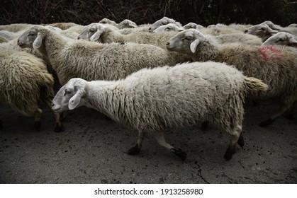 Flock of sheep in field, free farm animals, rancher