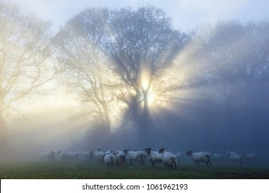 Flock of sheep in a field on a misty morning with sun rays streaming through the trees.