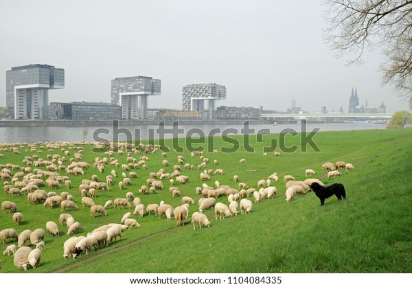Flock of sheep in front of the crane House scenery