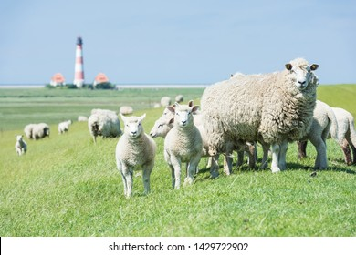 Flock of sheep in front of the Westerheversand Lighthouse; North Friesland