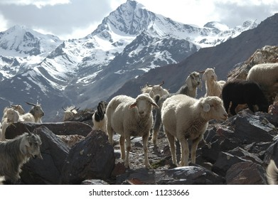 Flock of sheep and goats grazing alpine pasture in Northern India