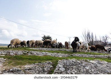 Flock of sheep and goats in a remote Spanish village. Rural tourism concept.