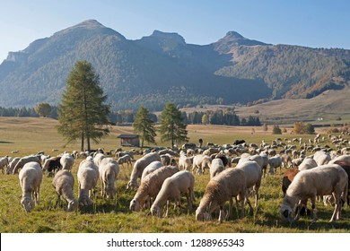A flock of sheep grazes in a meadow of the Viote plateau on Monte Bondone in Trentino
