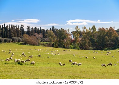 Flock of sheep grazes near Via Appia Antica in Rome, Italy.