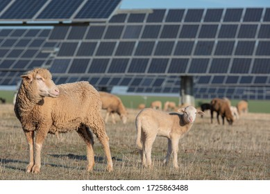 Flock of sheep grazing by day in field with solar panels
