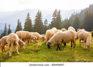Flock of sheep grazing at the edge of pine forest