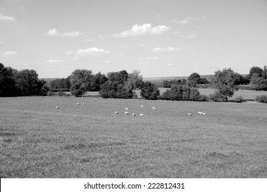 Flock of sheep grazing in the English countryside - monochrome processing