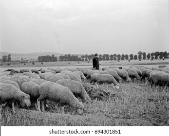 Flock of sheep grazing in front of farmer