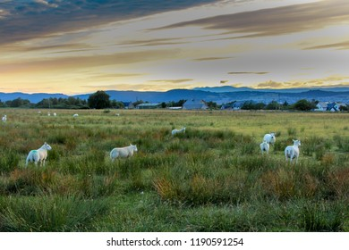 Flock of Sheep grazing in the green fields of the Scottish Highland at sunset with evening light. Inverness, Scotland at summe