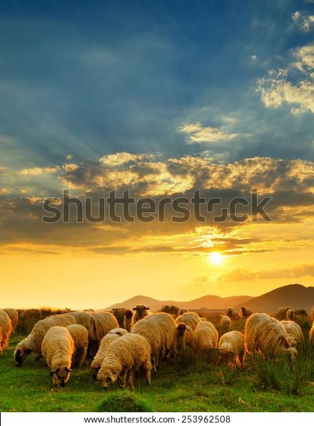 flock-sheep-grazing-hill-sunset-600w-253