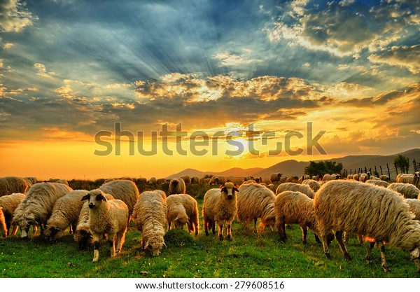 Flock of sheep grazing in a hill at sunset.