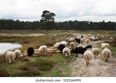 flock of sheep grazing for natural management of the nature reserve