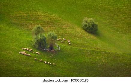 Flock of sheep grazing on a green mountain pasture in Transylvania region, Romania.
