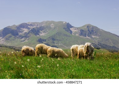Flock of sheep grazing on green pasture , beautiful nature landscape in background.