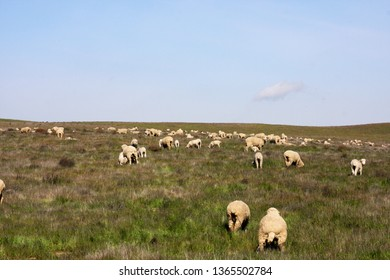 Flock of sheep grazing on a hill top pasture