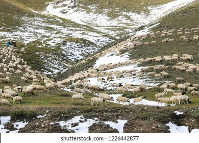 flock of sheep grazing on a mountain. Mongolia. Shepherd drives the flock home