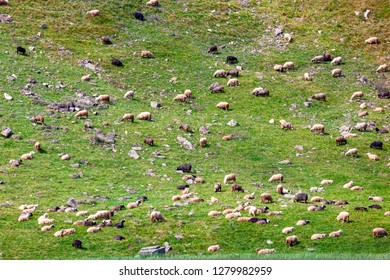 Flock of sheep grazing on a steep grass slope.