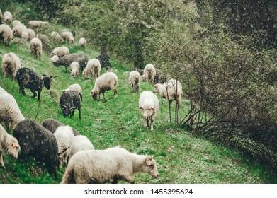 Flock of sheep grazing on a steep grass slope. Bad weather. It is snowing Tatras, Zakopane. Closeup
