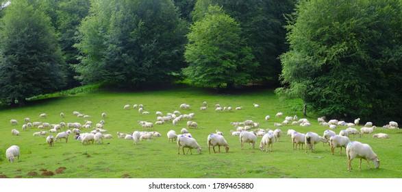 Rebaño de ovejas pastoreando en la Sierra de Aralar, Navarra