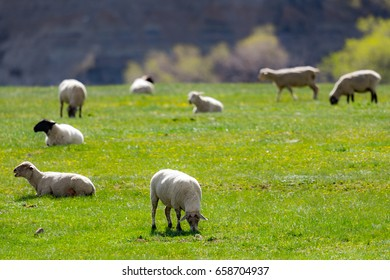 Flock of sheep grazing in a springtime pasture in southern Alberta, Canada
