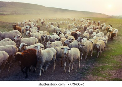 Flock of sheep grazing at sunset.