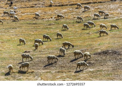 flock of sheep grazing in Val D'Agri campaign, Basilicata