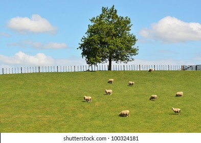 Flock of Sheep in a green meadow.
