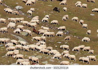 flock of sheep in the high mountains