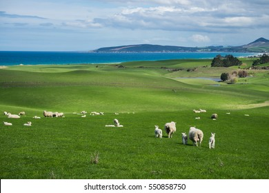 Flock of sheep and lamb at Katiki Point, New Zealand